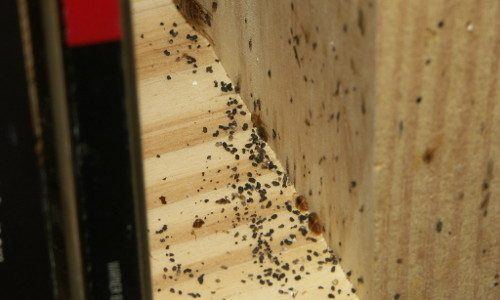 Bed bugs on wooden shelf 500x300px