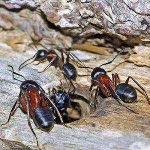 Carpenter Ant Control