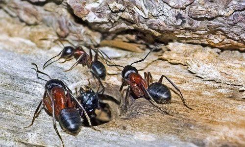 Carpenter Ants 500x300px