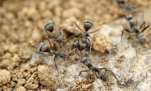 Carpenter Ants - group of ants communicating 500x300px