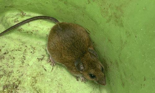 Field Mouse in green bucket