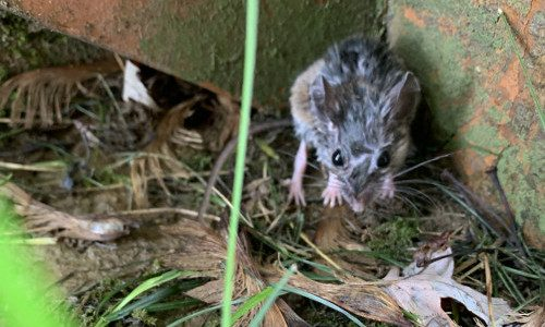 General Pest Control - Field Mouse 500x300px