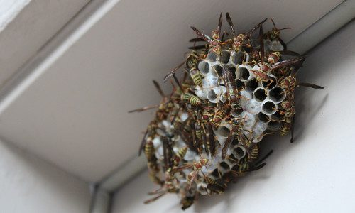 bees nest near gutters 500x300px