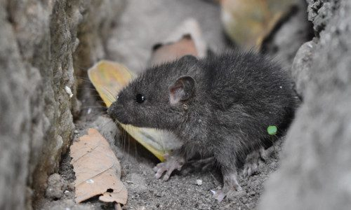 gray mouse 500x300px